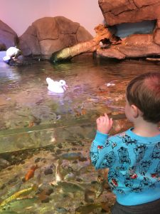 Young boy in blue, watching duck swim toward him in the aquarium.