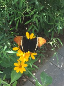 Free visits to the Springs Preserve-Butterfly habitat, black and orange