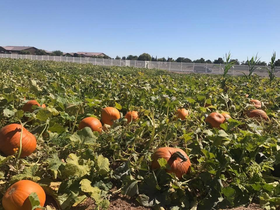 Gilcrease Orchard Pumpkin Patch showing pumpkins on vines