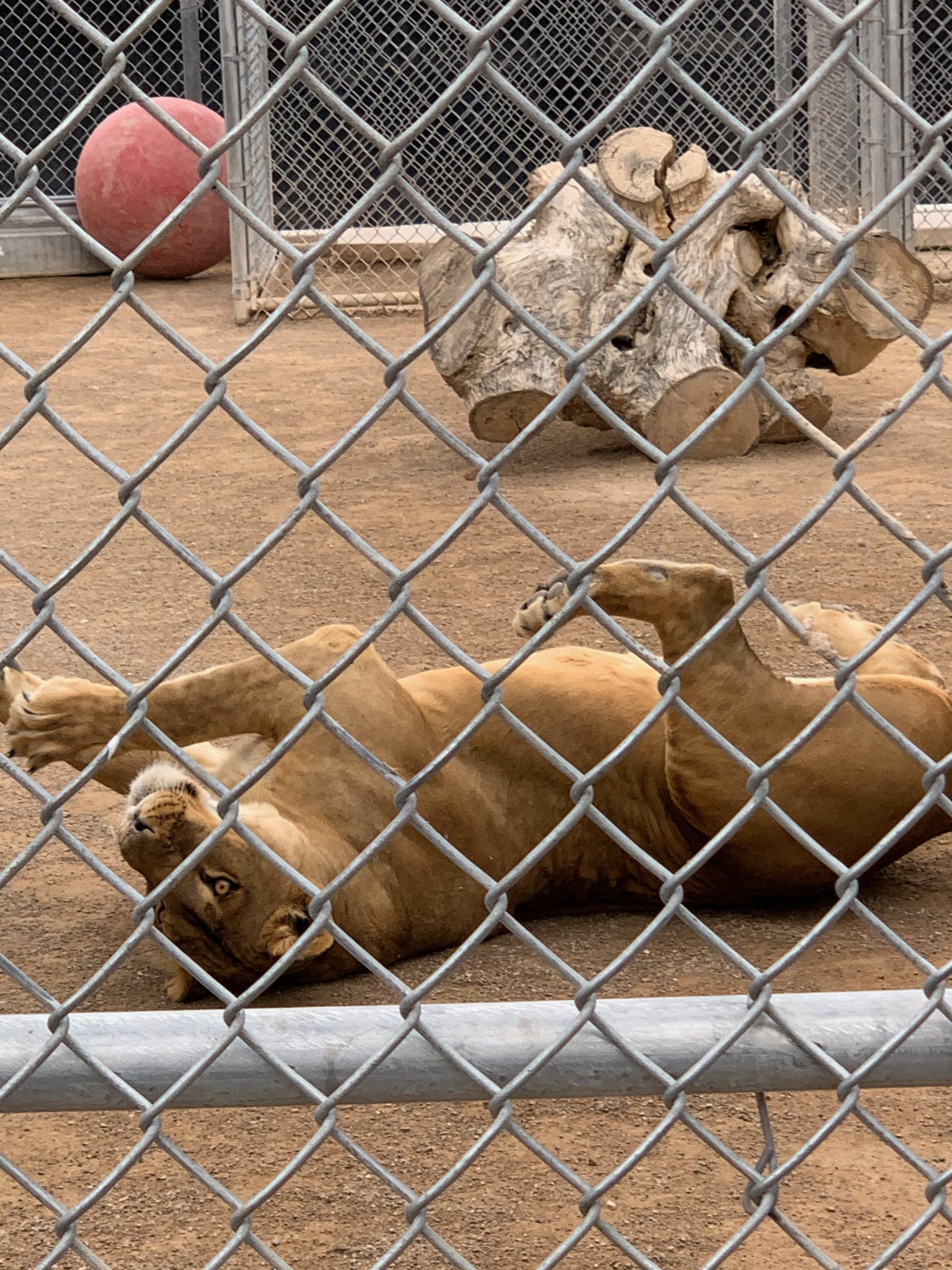 Female lion rolling and playing at the Lion Habitat Ranch